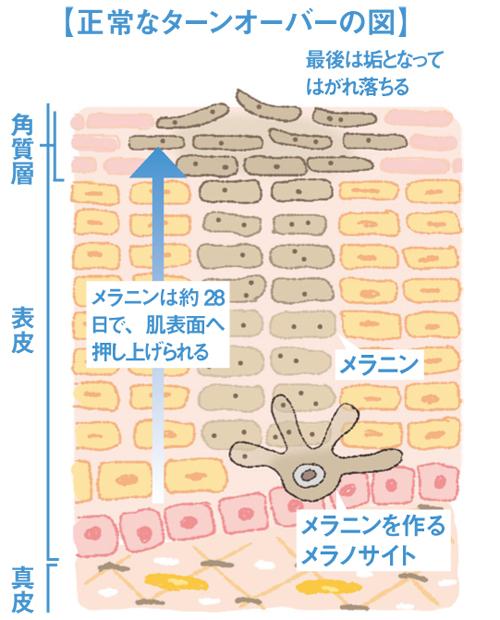 正常な皮膚のターンオーバーのイメージ