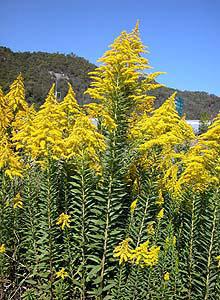 セイタカアワダチソウは花粉症の原因ではない